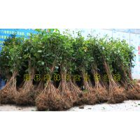 广西大果红花油茶种植技术 附视频在线观看