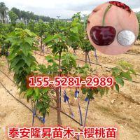 樱桃苗,1公分樱桃树苗多少钱一棵
