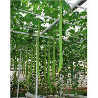 巨型一号特长丝瓜种子 白籽长丝瓜种子 最长可长3米的大田丝瓜