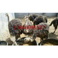 吉林辽源东丰县鸵鸟养殖场出售华旺特种养殖场鸵鸟苗