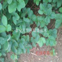 浙江哪里有耐储存的红颜草莓苗 泰安瑞康苗木园艺场提供优质种苗