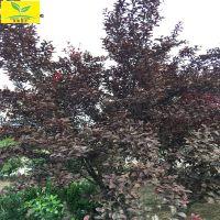 山东5公分-10公分紫叶李价格 优质绿化工程树 规格齐全 成活率高 15194272880