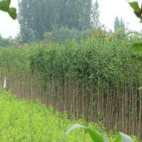 哪里有银杏小苗批发 1公分银杏树苗价格 山东绿化树苗种植基地