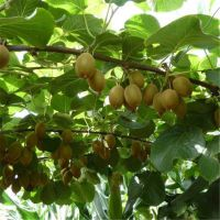 志森园艺猕猴桃苗价格 嫁接红心猕猴桃价格 质优价廉