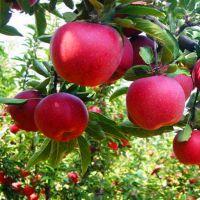 红星苹果苗价格 红星苹果树苗多少钱一棵