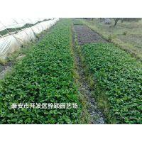 供应章姬草莓苗,抗病能力强果实个大,味美,量大从优