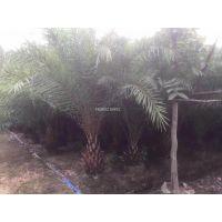 安徽中东海枣多杆,安徽中东海枣1米高