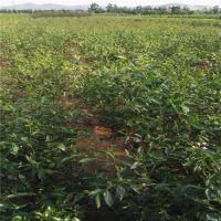 泰安瑞康苗木供应枣树苗 高度0.8m沾化冬枣 当年结果