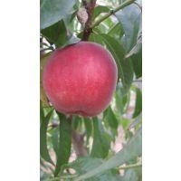 早熟桃树新品种有哪些 春丽桃 春丽桃树苗