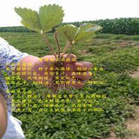 法兰地草莓苗网购