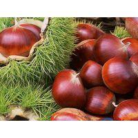 青岛平度板栗树苗种子基地 颗粒饱满 出芽率高的板栗种子批发价格