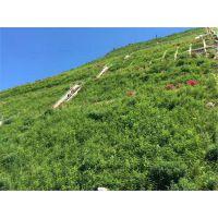 边坡选用适合草籽灌木播种复绿效果好玉溪市草种专售