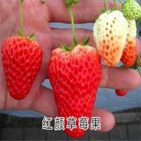 红颜草莓苗 适合南北方种植的草莓苗 品种齐全纯正 发货及时 价格优惠