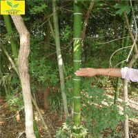 山东竹子苗 2.5米3米高规格 用于绿化园林 现挖现卖 早园竹 富贵竹