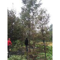 温江水杉直销基地6-18公分一手货源优质黑土树型优美精品水杉低价格