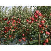 出售123苹果苗 供应123苹果苗 出售沙果苗