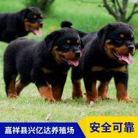 嘉祥县兴亿达精品罗威纳幼犬价格