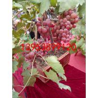 销售玫瑰香葡萄苗 葡萄色泽鲜艳颗粒饱满