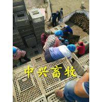 加大装鹅筐 31高鹅运输笼 塑料鸡筐周转笼
