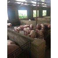 鄂美猪种改良公司PIC二元母猪限时优惠热卖