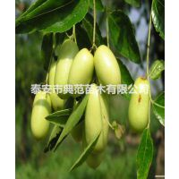 梨枣树苗 梨枣树苗价格 产地批发供应