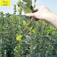 供应批发北海道黄杨 1米1.5米1.8米规格高 绿化景观树