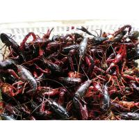 8钱以上小龙虾 鲜活水产 8-12只/斤 产自江苏 食用小龙虾