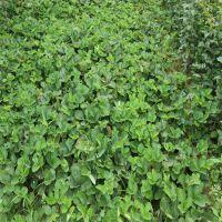 我想种植草莓苗哪里有?山东鑫豪园艺场批发出售各种草莓苗