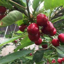 美国一号樱桃苗多少钱一颗 1-5公分美国一号樱桃苗价格