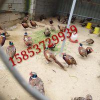 七彩山鸡出售观赏山鸡价格华旺特种养殖场