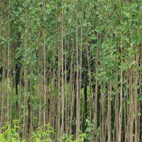 1公分银杏小苗批发 银杏树价格 山东绿化树苗种植基地