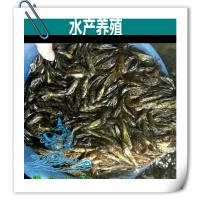 鱼苗|黄颡鱼苗批发|黄颡鱼苗价格|黄颡鱼鱼苗厂家_清远市港兴养殖场