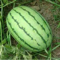 早春红玉西瓜便宜了