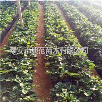 大白草莓苗价格 大白草莓苗 特色草莓品种介绍
