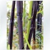 竹子出售,早园竹批发,北京竹子种植基地,竹子价格,竹子图片