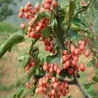 志森园艺种植花椒苗供应 适合丘陵种植大红袍花椒苗价格