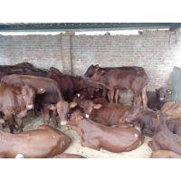 养殖利木赞牛的最新价格