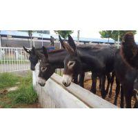 赞皇县大型肉驴养殖育肥小驴驹价格基础母驴价格怀孕母驴价格