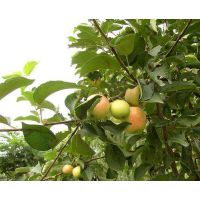 壹棵树 红苹果苗 矮化苹果苗新品种 品质保障欢迎选购