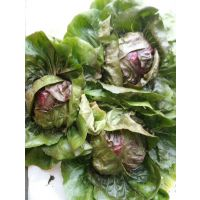 欧洲优秀的杂交一代红色结球菊苣种子