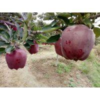 苹果苗品种 苹果苗什么品种的好吃