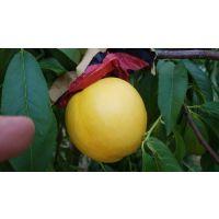 壹棵树农业供应2年生多味石黄果种苗