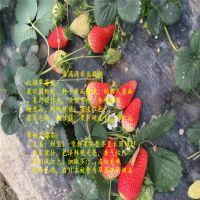 法兰地草莓苗快递