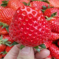 隋珠草莓苗哪里有 隋珠草莓苗多少钱 隋珠草莓苗亩产