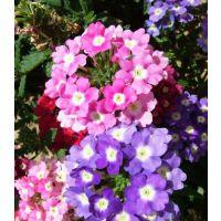 山东美女樱价格美女樱基地租摆常用花卉基地一手供应