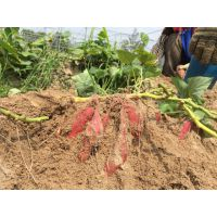 红东红薯-日本红东红薯苗产地批发