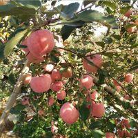 12公分弘前富士苹果树苗多少钱一棵