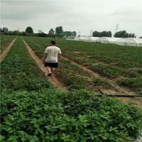 法兰地草莓苗更新