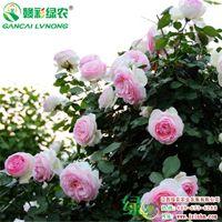 批发粉龙一年两年花苗 盆栽地栽 阳台多头月季 当年种植当年开花 重瓣淡香