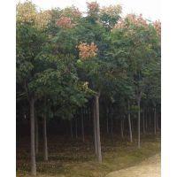 栾树哪里便宜 10公分栾树价格多少 江苏栾树基地提供